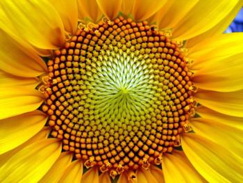 fibonacci-sunflower